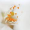桜のしべ!
