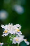 シャガの花