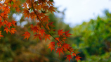 近所の紅葉