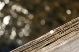 祇園白川の巽橋に落ちた桜ひとひら