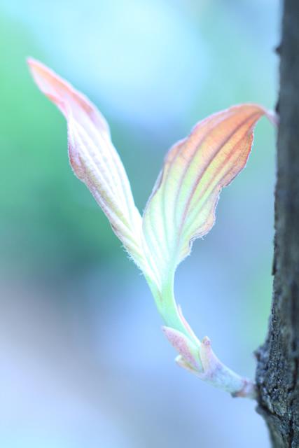 花水木の若枝