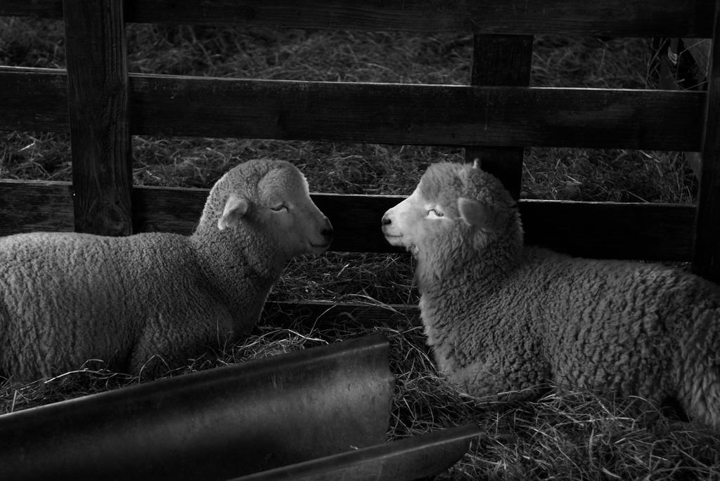仲良しな羊