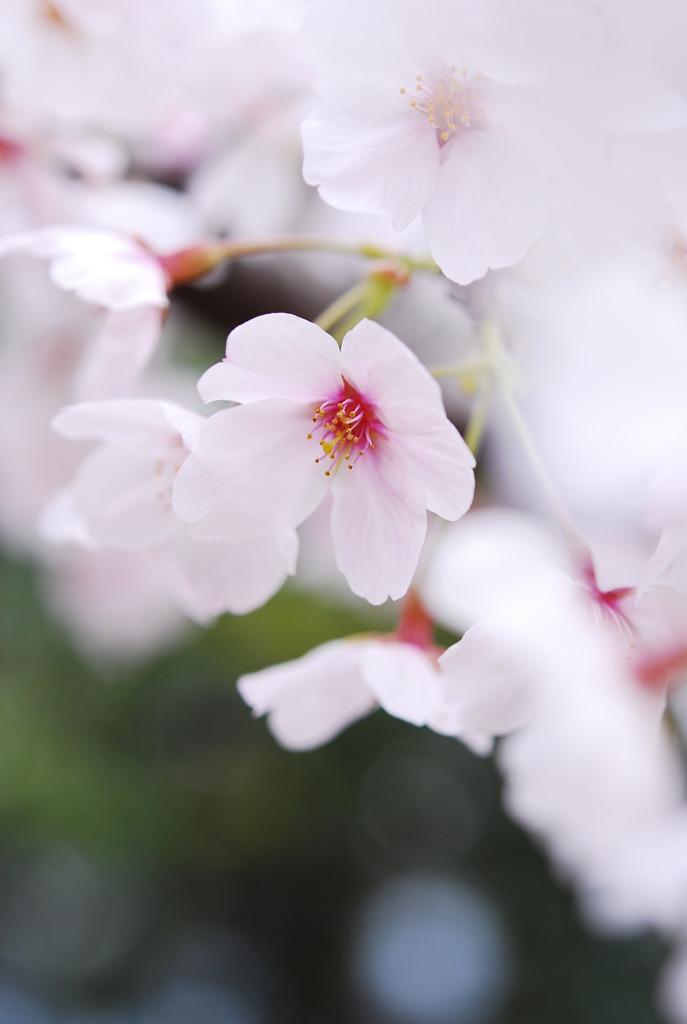 桜日和 vol.1