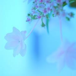 NIKON NIKON D60で撮影した植物(あじさい。 vol.3)の写真(画像)