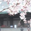 桜と三十三間堂