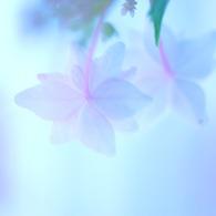 NIKON NIKON D60で撮影した植物(あじさい。 vol.4)の写真(画像)