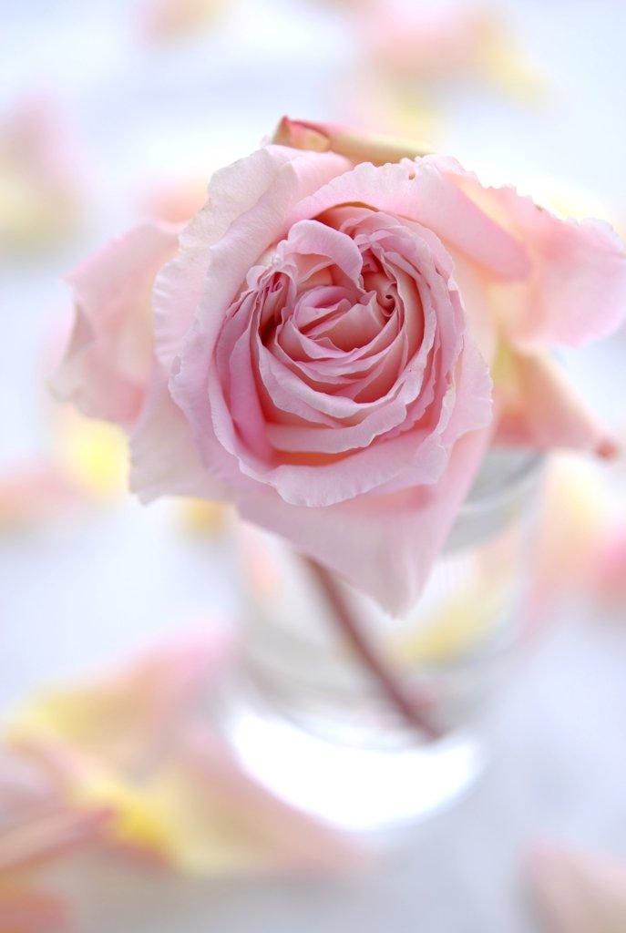 My Garden Rose