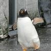 旭山動物園 ペンギン
