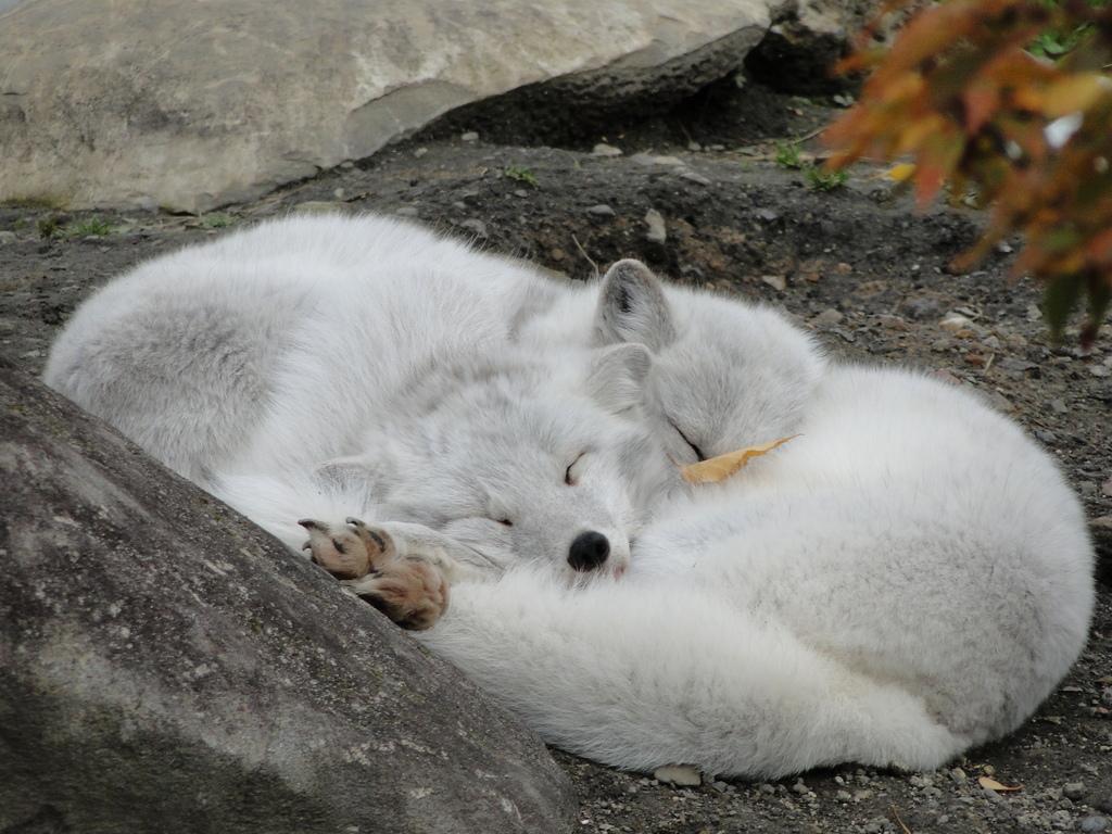 旭山動物園 ホッキョクきつね