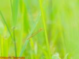 モートンイトトンボ未熟個体♀