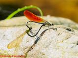 カワトンボ橙色翅型♂+♀交尾態