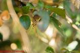 ホソミイトトンボ越冬型♂(絶命)