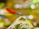カワトンボ橙色翅型♂