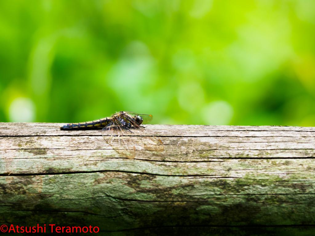 シオヤトンボ老熟個体♀