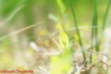 アジアイトトンボ♀