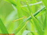 キイトトンボ未熟個体♂
