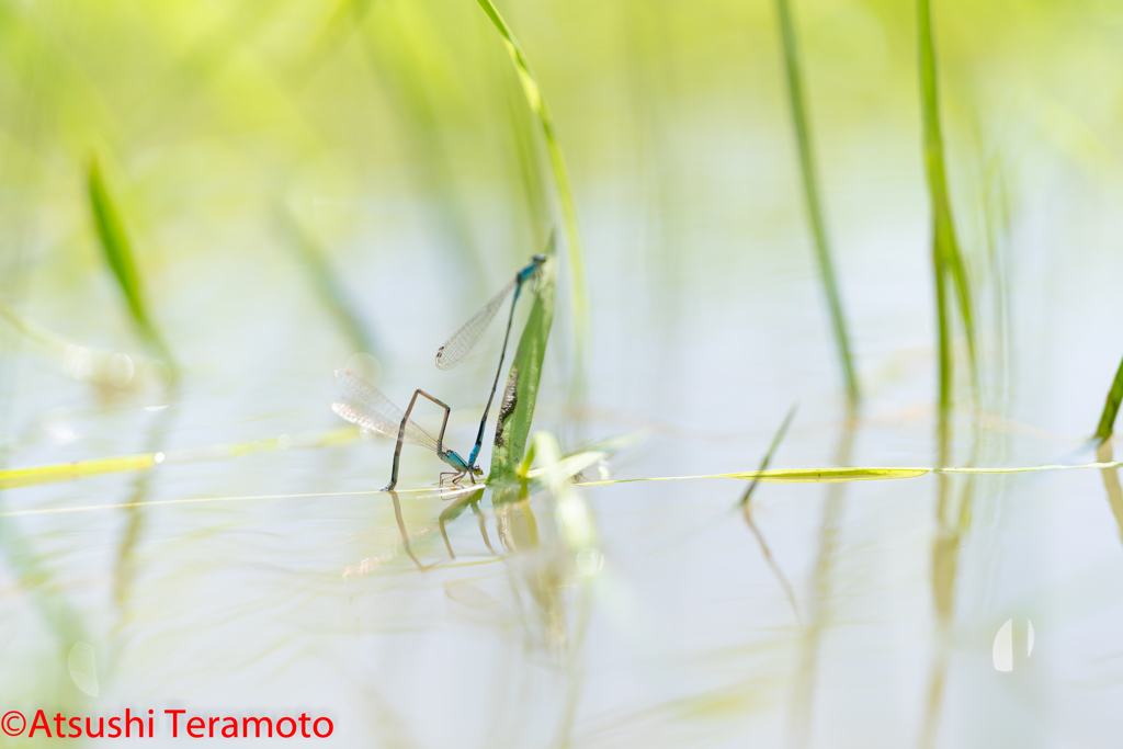 ホソミイトトンボ越冬型連結産卵