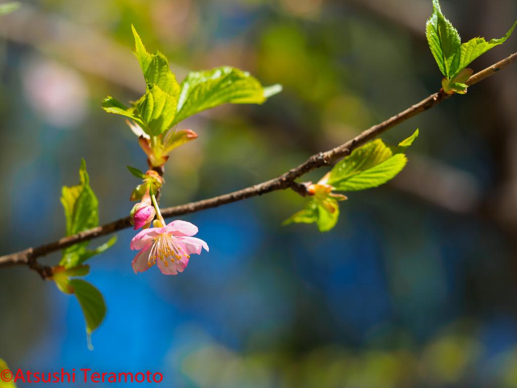 サクラが咲いていました