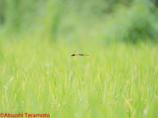 ナツアカネ連結産卵飛翔