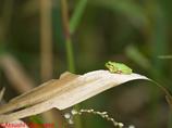 ニホンアマガエル幼体