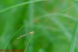 アオモンイトトンボ未熟個体♀