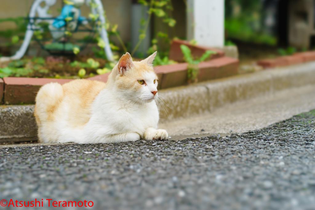 別の地域猫(さくらねこ)