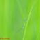 ホソミイトトンボ夏型交尾態