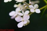 遅咲きのアジサイ