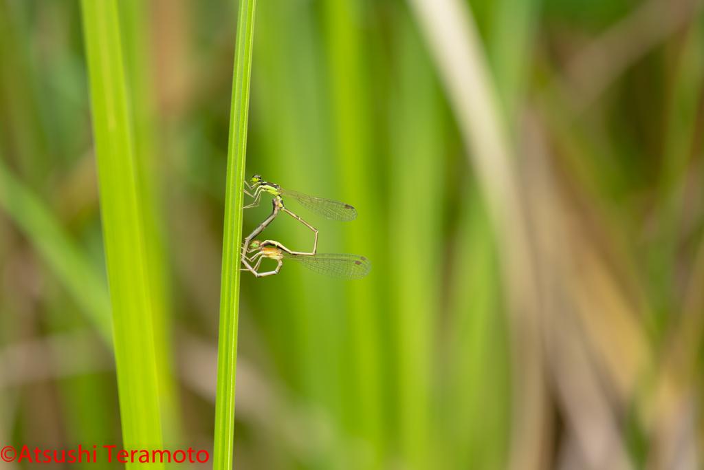 ヒヌマイトトンボ交尾態(未熟個体♀)