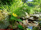 渓流の野草