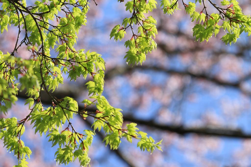 新緑楓~桜を背景に