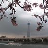 Sakura&Tokyo Sky Tree