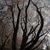 天を衝く桜