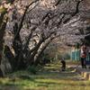 51年目の桜