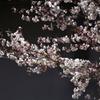 桜、東大寺にて