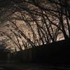 雨に煙る桜路