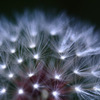 Dandelion with LED light