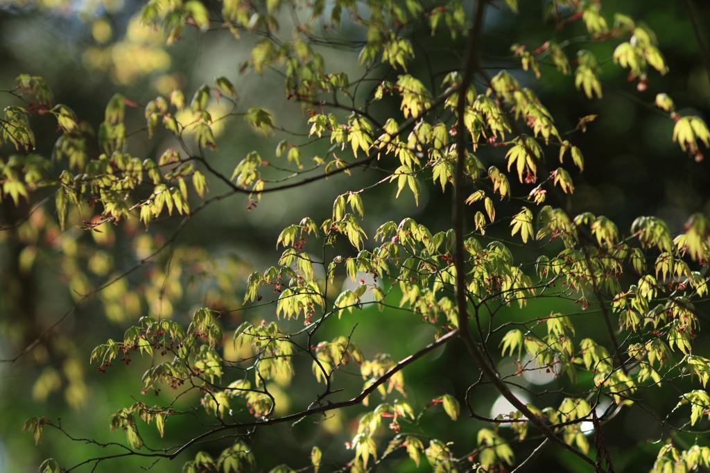 楓、光を浴びて輝く