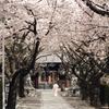 2011桜咲く