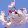 春めき(足柄桜)