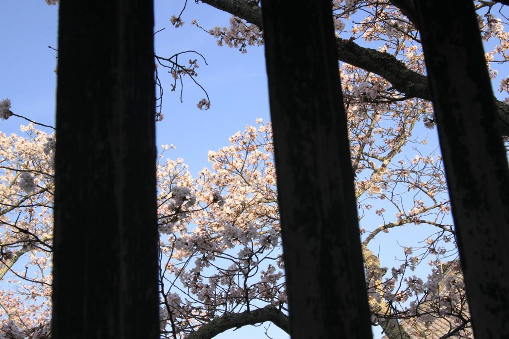 格子からの桜