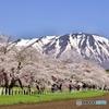 170503小岩井農場桜並木道