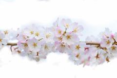 桜2013開花