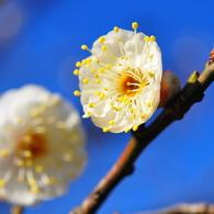 NIKON NIKON D90で撮影した植物(早咲きの梅)の写真(画像)