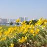 NIKON NIKON D90で撮影した植物(お台場の黄色い花 )の写真(画像)
