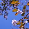 NIKON NIKON D90で撮影した植物(10月桜)の写真(画像)