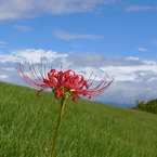 PANASONIC DMC-FZ10で撮影した植物(古墳に生えた彼岸花)の写真(画像)