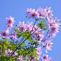 NIKON NIKON D90で撮影した植物(皇帝ダリア)の写真(画像)