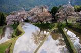 三重県 三多気の桜