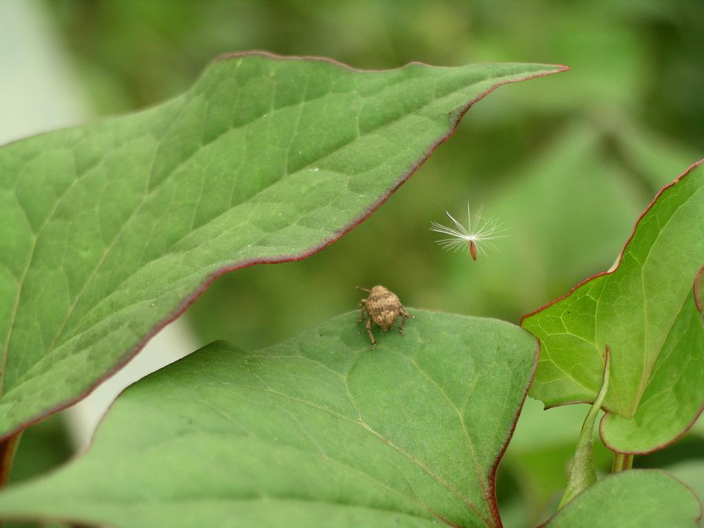 ゾウムシとたんぽぽの種